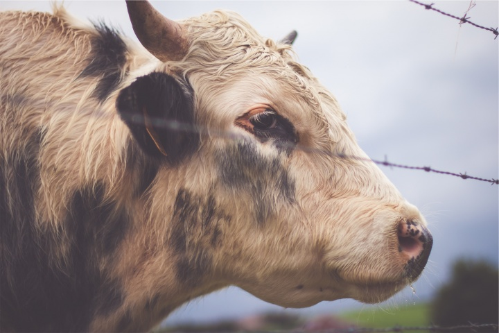 A cow behind a fence.