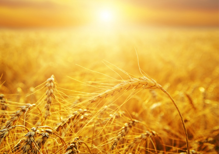 Wheat basking in the sunlight.