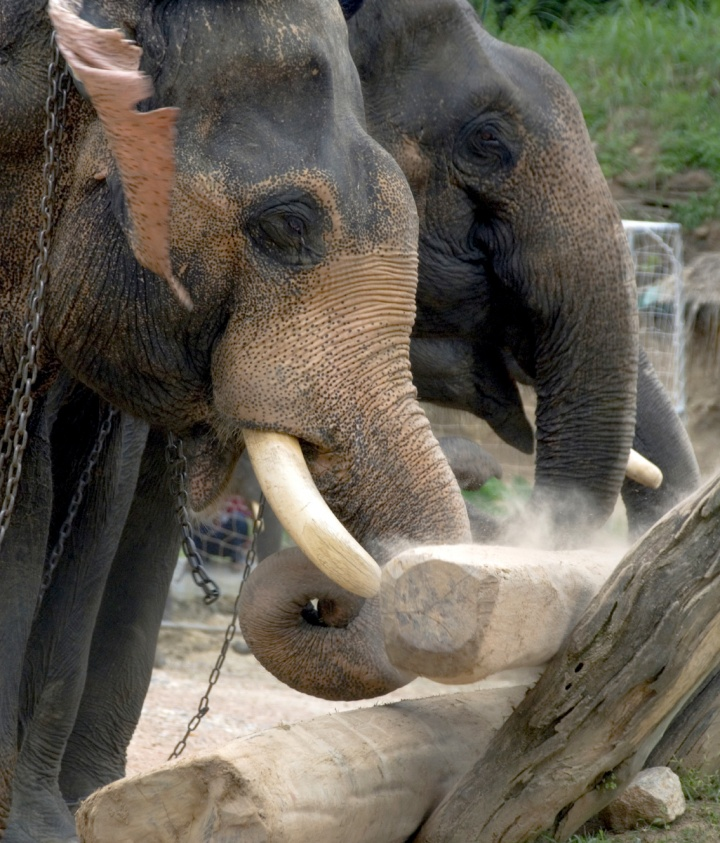 Two elephants lifting a log.