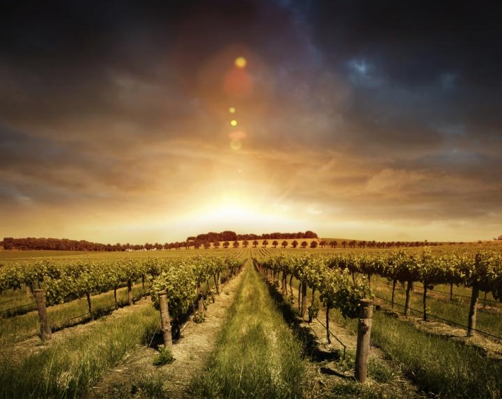 A sunrise over a vineyard.