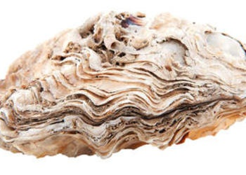 Upclose photo of a clam/oyster shell.