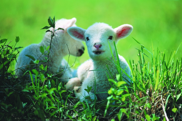 A lamb in the grass.