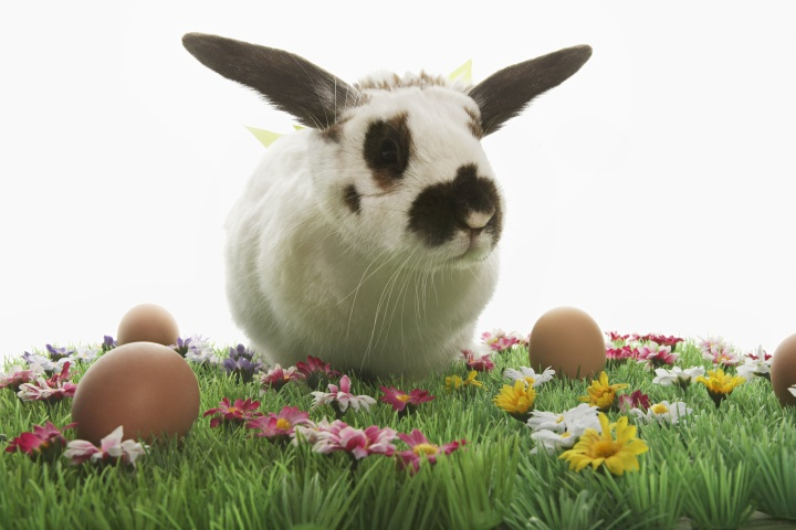 A black and white bunny rabbit in green grass surrounded by colored Easter eggs.
