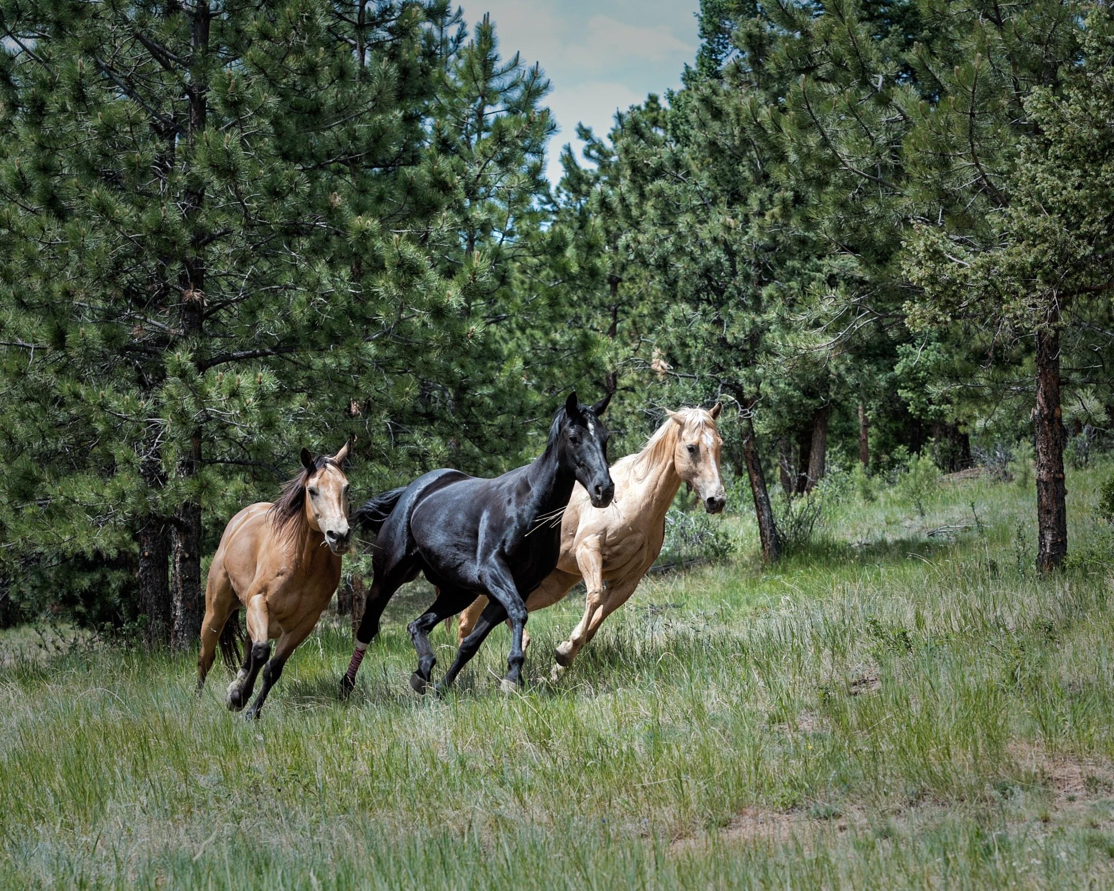 Photo of horses running.