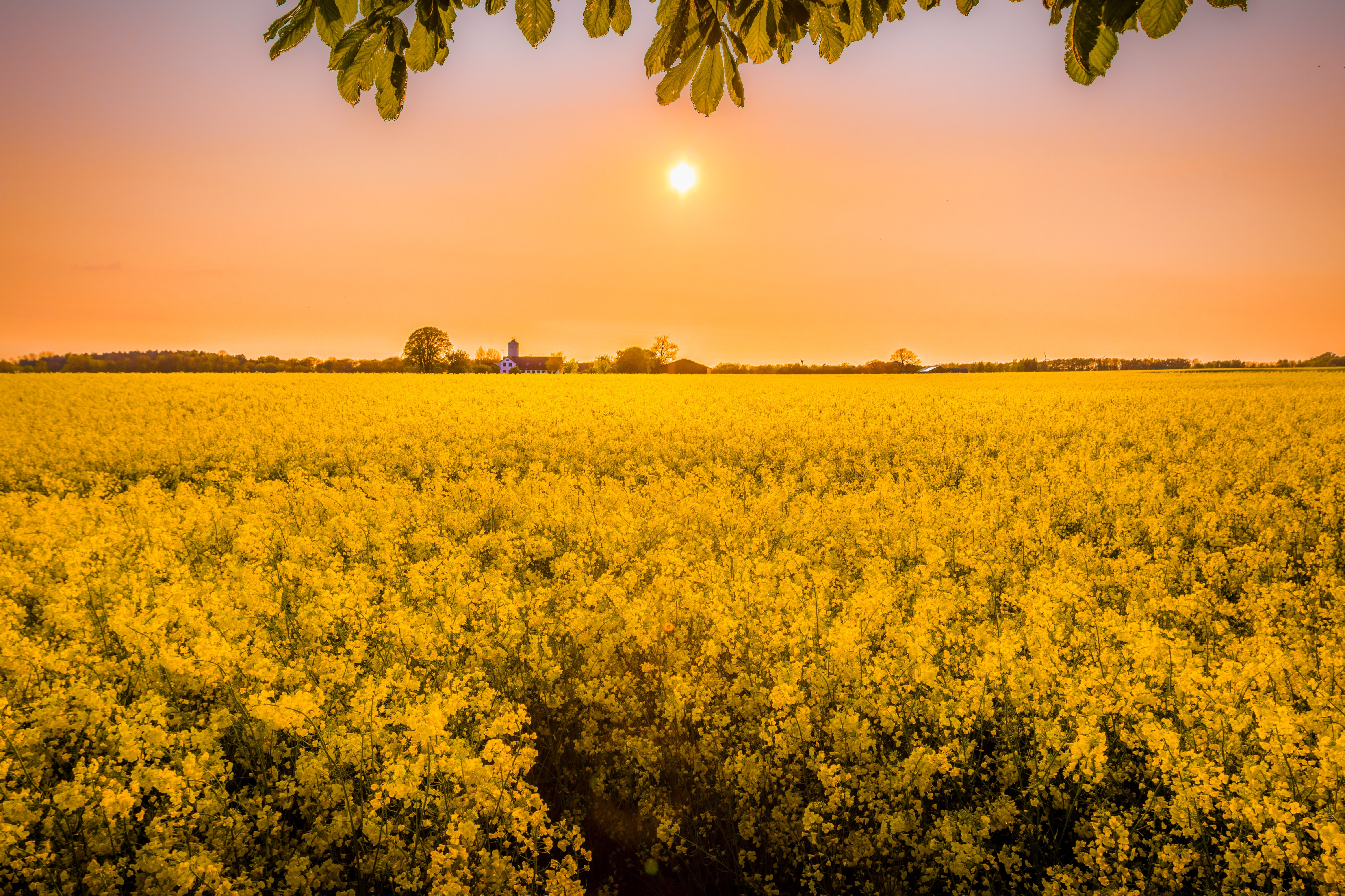 Photo of a field of yellow flowers at sunset.