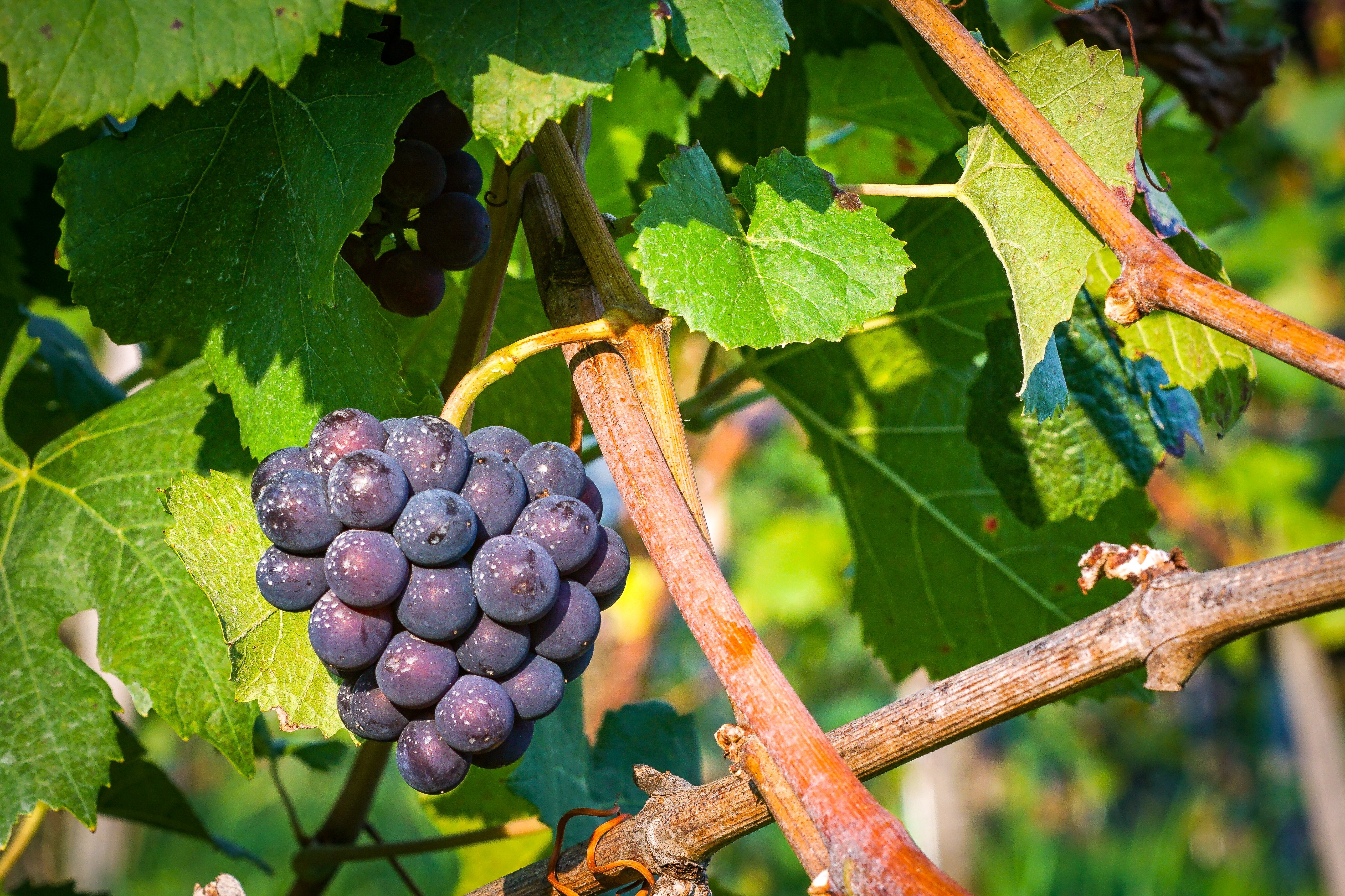 Photo of a grapevine with purple grapes on it.