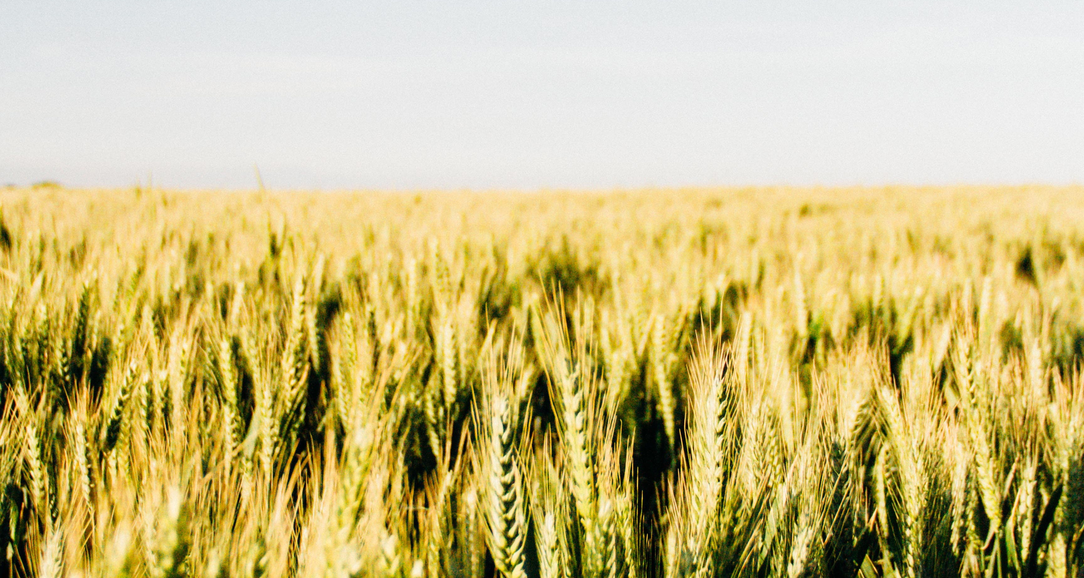 Photo of a wheat field.