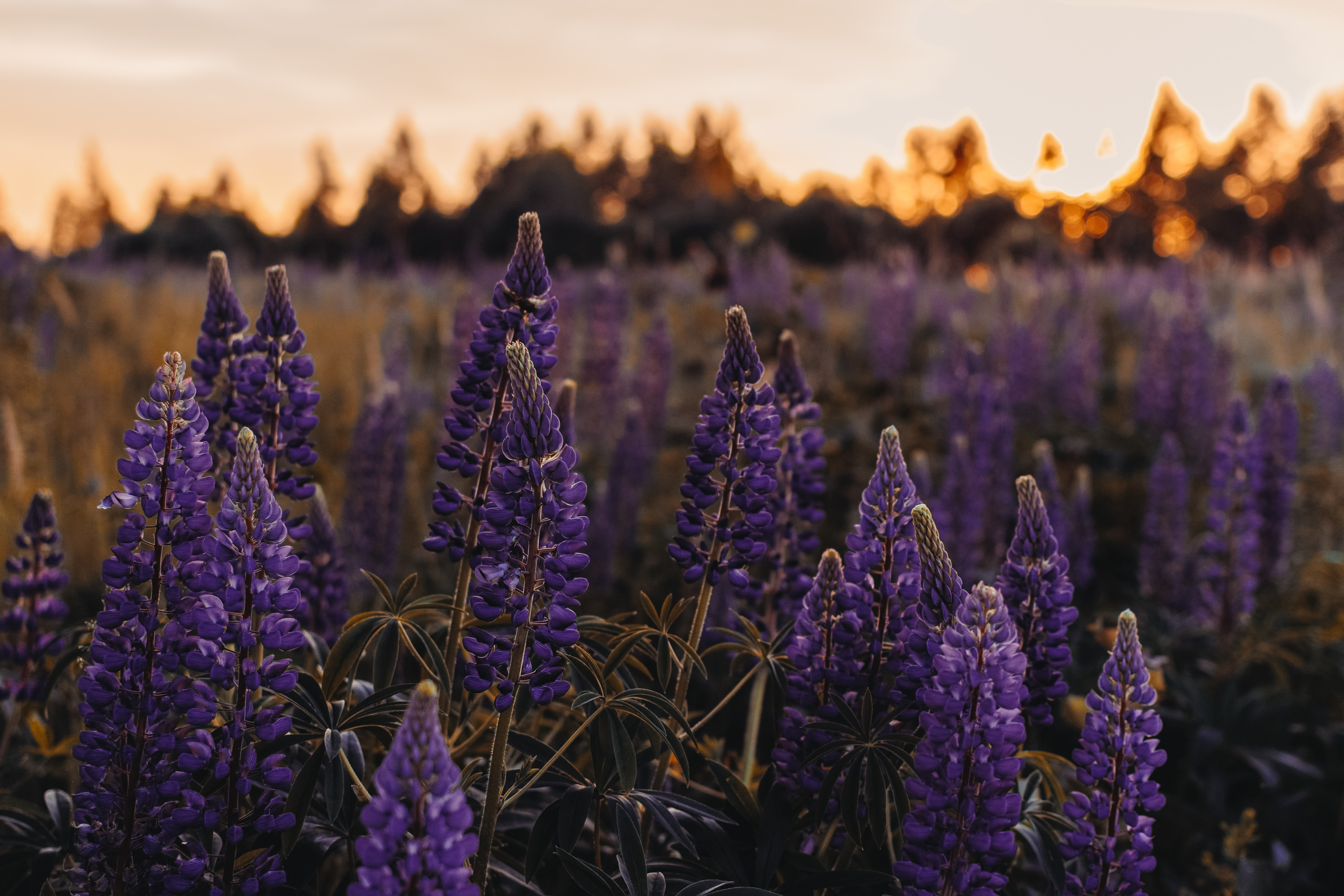 Lupine blossoms in a field at golden hour.