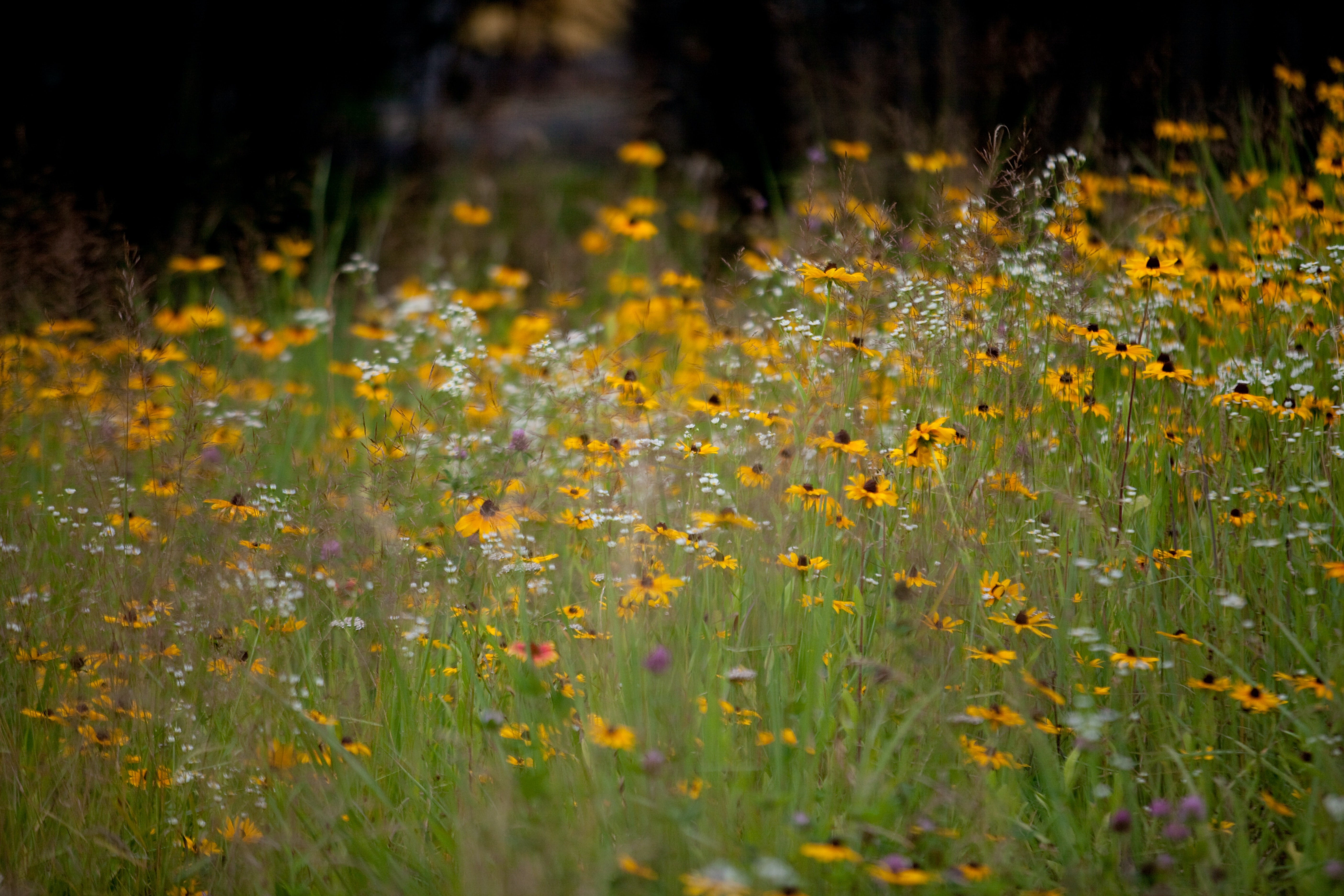 Photo of wildflowers in a meadow.